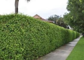 Xu thế làm hàng rào cây Si ở đô thị hiện đại