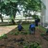 Kỹ thuật trồng và chăm sóc cỏ lông heo