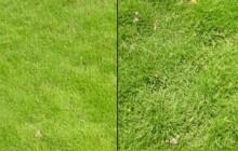 Cách phân biệt cỏ lông heo và cỏ nhung nhật