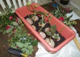 Hướng dẫn ươm cành hoa hồng bằng củ khoai tây
