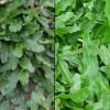 So sánh cỏ lá gừng và cỏ lá gừng Thái Lan