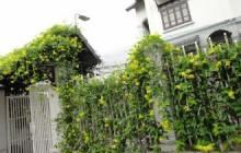 Những cây dây leo đẹp trang trí vườn nhà