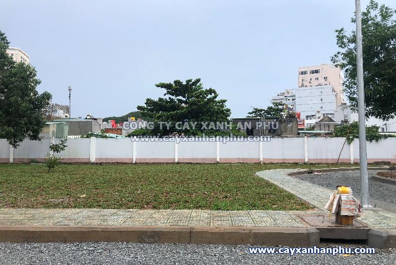 Trồng cỏ lá gừng tại Thành phố Vũng Tàu