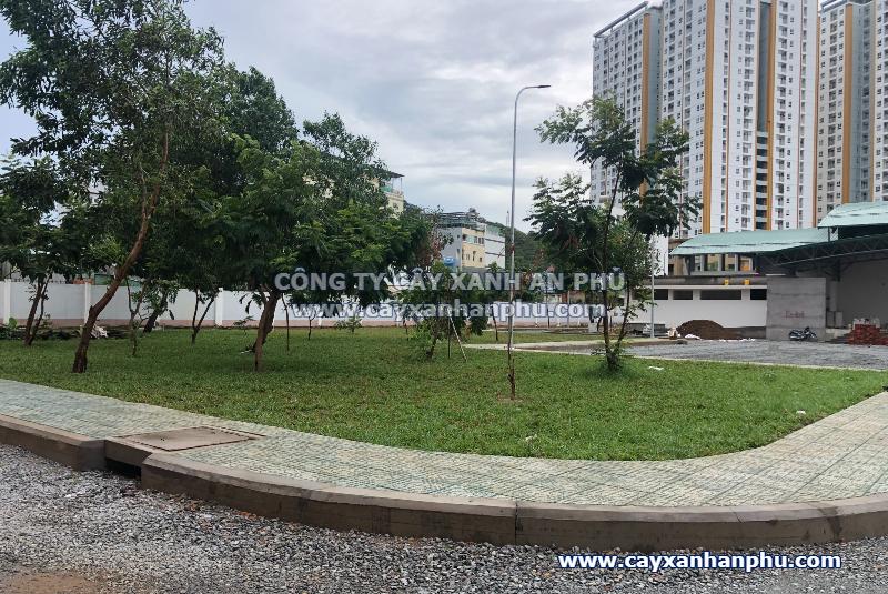 Trồng cỏ lá gừng giá rẻ tại Vũng Tàu