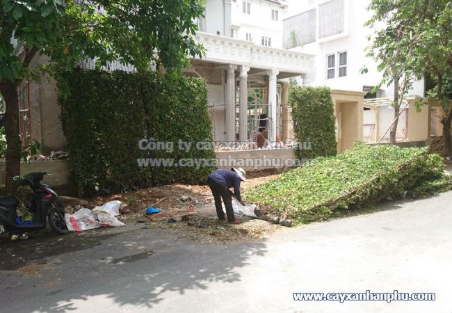 cung cấp và thi công hàng rào cây si, cây gừa