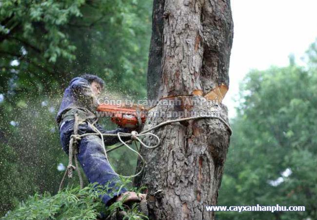 Dịch vụ chặt cây xanh, cắt tỉa cây xanh
