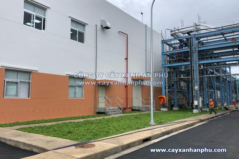 Trồng cỏ lá gừng nhà máy tại Đồng Nai