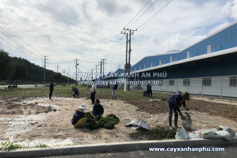 Trồng cỏ lá gừng tại Bình Dương Trong co la gung tai Binh Duong