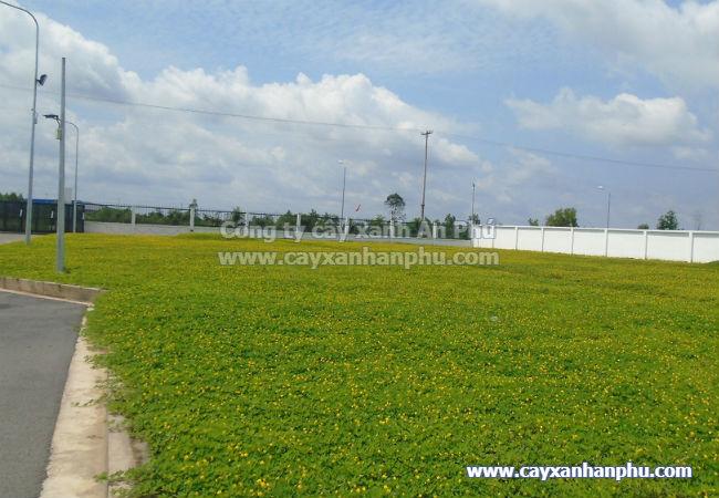 Thảm cỏ đậu phộng