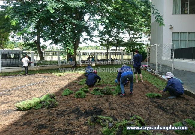 Kỹ thuật trồng cỏ lông heo 2