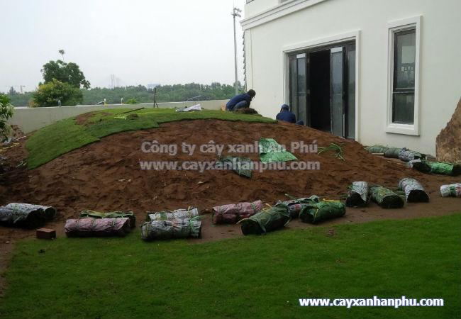 Hình ảnh trồng cỏ nhung nhật