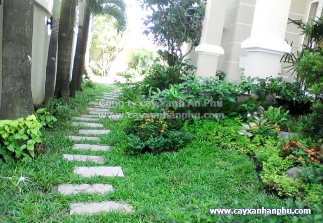 Cỏ lá gừng trồng trang trí sân vườn