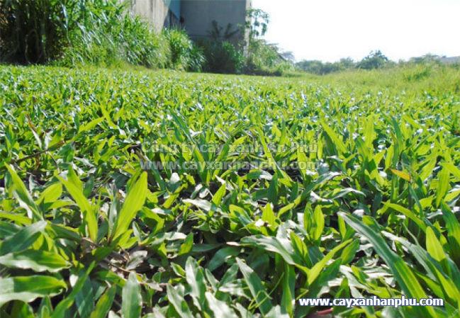 Cỏ lá gừng trồng để che phủ đất trống