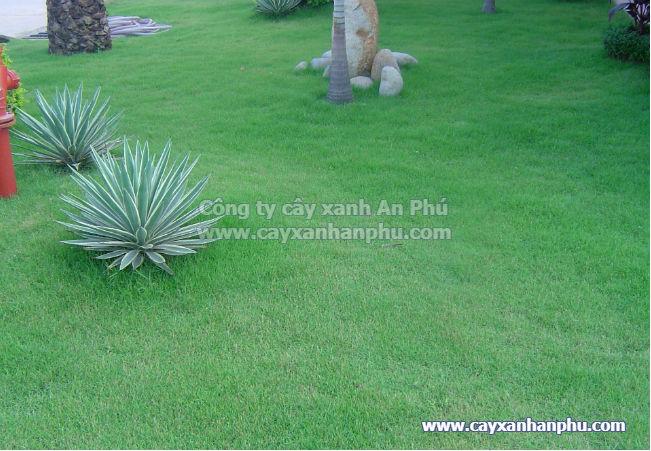 Thảm cỏ lông heo