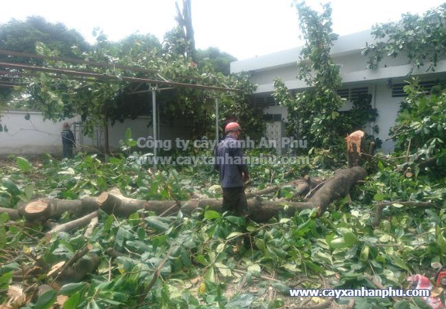Chặt cây bàng lá lớn