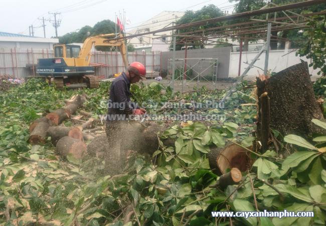 Dịch vụ chặt cây bàng