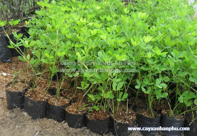 Kỹ thuật trồng cỏ đậu phộng 3