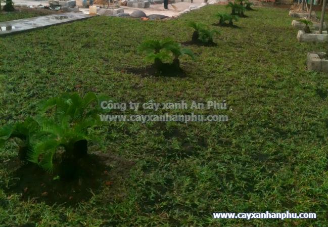Trồng cỏ khuôn viên Vietnam House