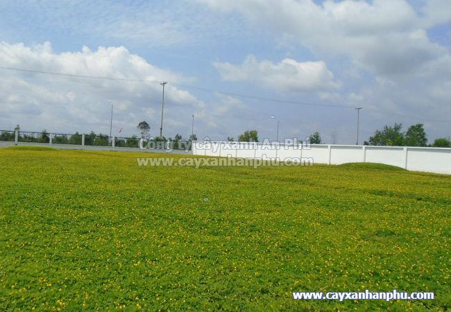 Trồng cỏ đậu phộng