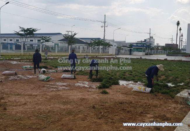 trồng cỏ lá gừng trọn gói