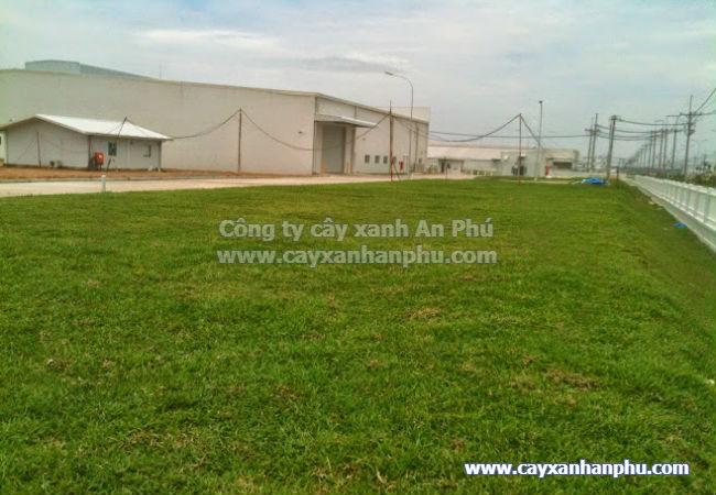 dịch vụ trồng cỏ lá gừng giá rẻ