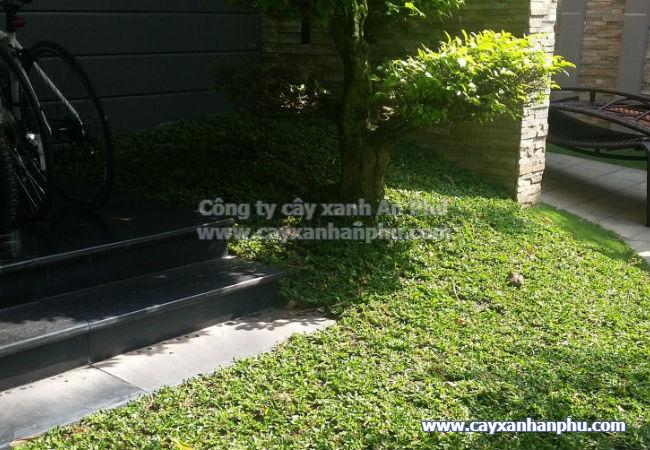 dịch vụ trồng cỏ lá gừng thái giá rẻ