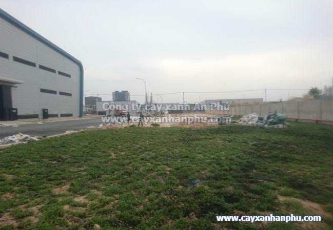trồng cỏ lá gừng cho nhà máy