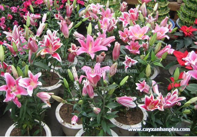 Chậu cây hoa ly trưởng thành