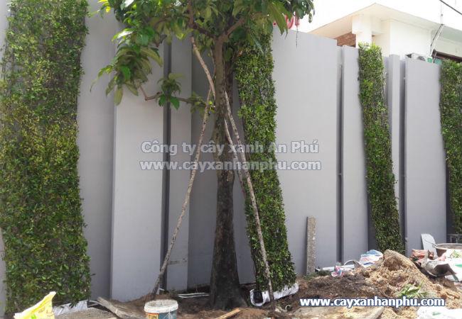 Tường cây gừa
