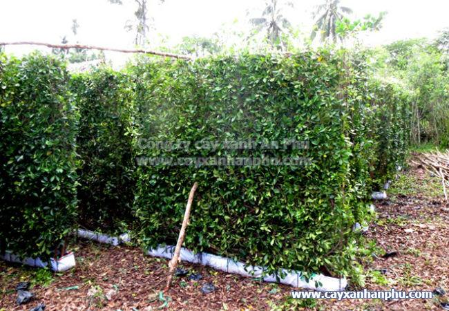 Tường cây gừa giá rẻ
