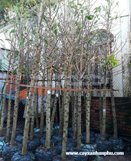 Bán cây ngọc lan