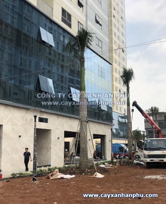 Cây Cau vua trồng cho dự án chung cư