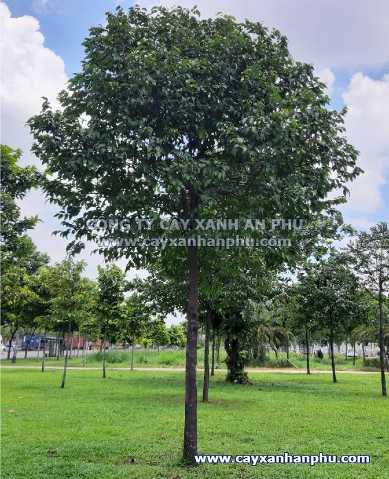 Cây sao đen trồng công viên