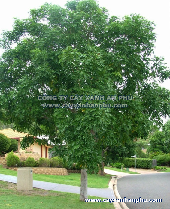 cây xà cừ