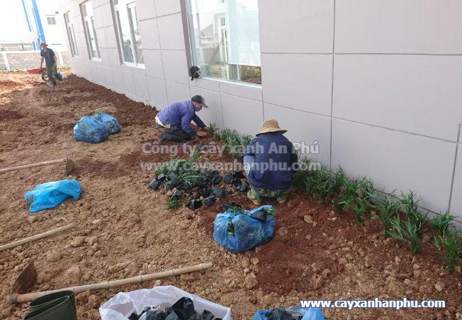Cung cấp và trồng cây cảnh cho nhà máy Intimex 10