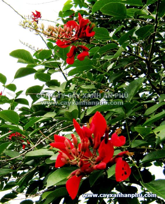 Hoa cây osaka đỏ