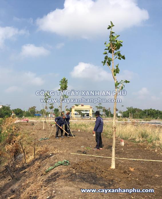 Trồng cây bằng lăng cho dự án Tân Lân