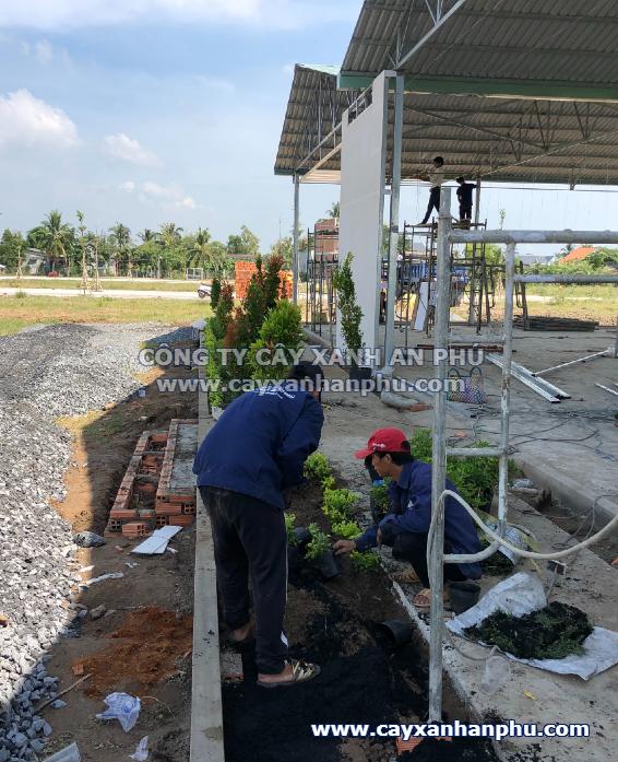 Trồng cây chuổi ngọc cho công trình