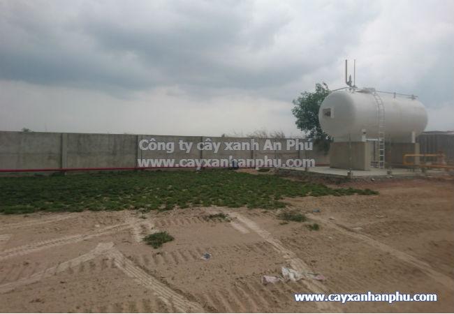 Trồng cỏ lá gừng nhà máy Taitan