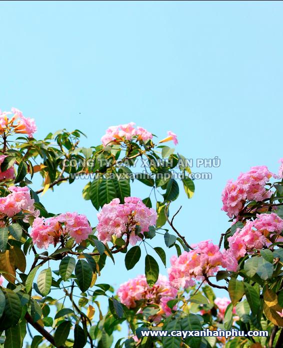 bán cây kèn hồng