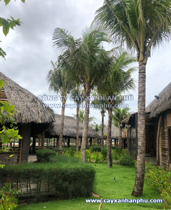 cây dừa trong resort