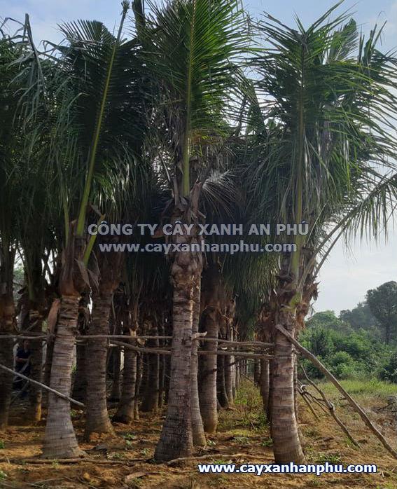 bán cây dừa công trình