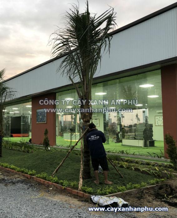 trồng cây dừa