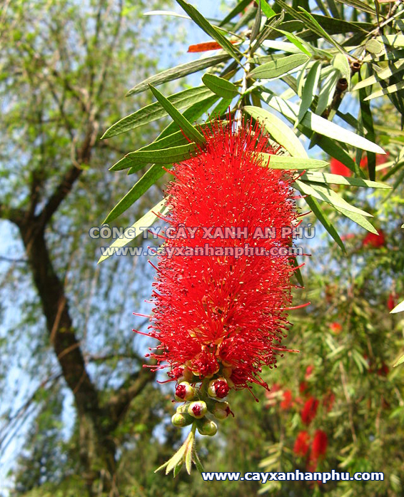 hoa cây tràm liễu